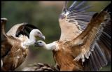 Griffon Vulture aggression