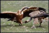 Griffon Vulture wrestling 2