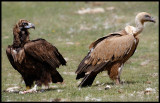 Black- and Griffon Vulture