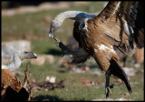 Griffon Vultures fighting