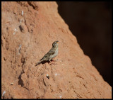Rock Sparrow at Mont Roig