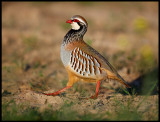 A Red-legged Partridge passing by my hide