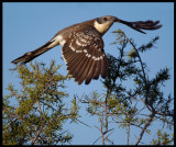Great Spotted Cuckoo taking off