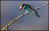 Shaken not stirred Bee-eater disarming a bee before eating it