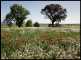 Poppyfield