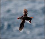 Puffin near Sumburgh Head - Shetland