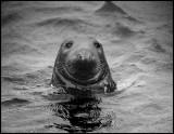 Gray Seal - Shetland