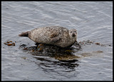 Harbour Seal near Leebotten