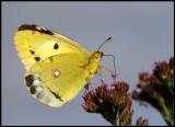 Rödgul höfjäril  (Clouded Yellow / Colias croceus) Furnas - The Azores