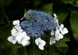 Azor flower