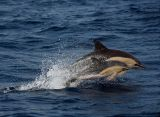 Short-beaked Common Dolphins (Mother and baby!)