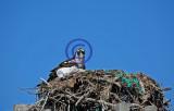 Osprey on nest 95