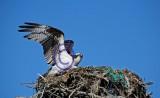 Osprey and nest 96