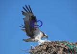 Osprey 103 landing on nest