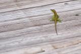 0733 Green Lizard