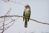 Isolated Flycatcher