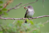 Flycatcher and moth
