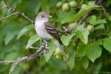 Flycatcher and leaves