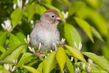 Resting Sparrow