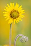 Sunflower on yellow