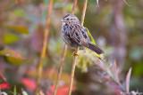 Sparrow on color
