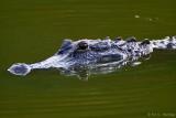 Mother alligator