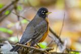 Quiet Robin