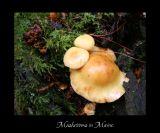 Mushrooms in Acadia Ntl Park