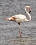 Pink Flamingo (Camargue area)