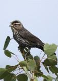 Redwing black bird female