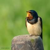 barn swallow.... boerenzwaluw