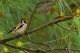 goldfinch.... putter