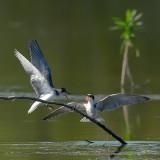 black tern.... zwarte stern