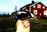Great Spotted Woodpecker ( Större hackspett )