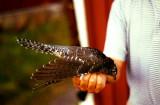 Common Cuckoo ( Gök )