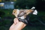 Hawfinch ( Stenknäck )