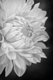 7/2/08 - Dahlia in B&W