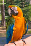 zP1050392 Catalina macaw - guest at SanSuzEd RV Park.jpg