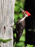 IMG_6401 Pileated Woodpecker - male.jpg