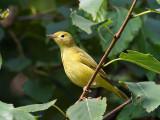 IMG_7874 Yellow Warbler.jpg