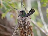 IMG_3536 Broad-billed Hummingbird.jpg