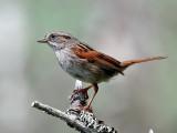IMG_6103 Swamp Sparrow.jpg