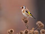 Putter/Goldfinch