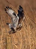Ruigpootbuizerd/Rough legged buzzard