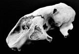 Seal's skull