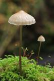 Mycena Fungi.jpg