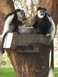 Lunch time for some Colobus Monkeys.
