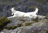 White Goats