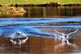 Swan Dispute