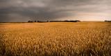 Wheat Field of Dreams Panorama